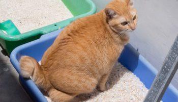 Blasenentzündung bei Katzen – Probleme beim Urinabsatz