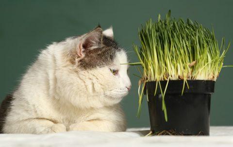Katzengräser fertig kaufen