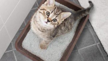 Katze an das Katzenklo gewöhnen