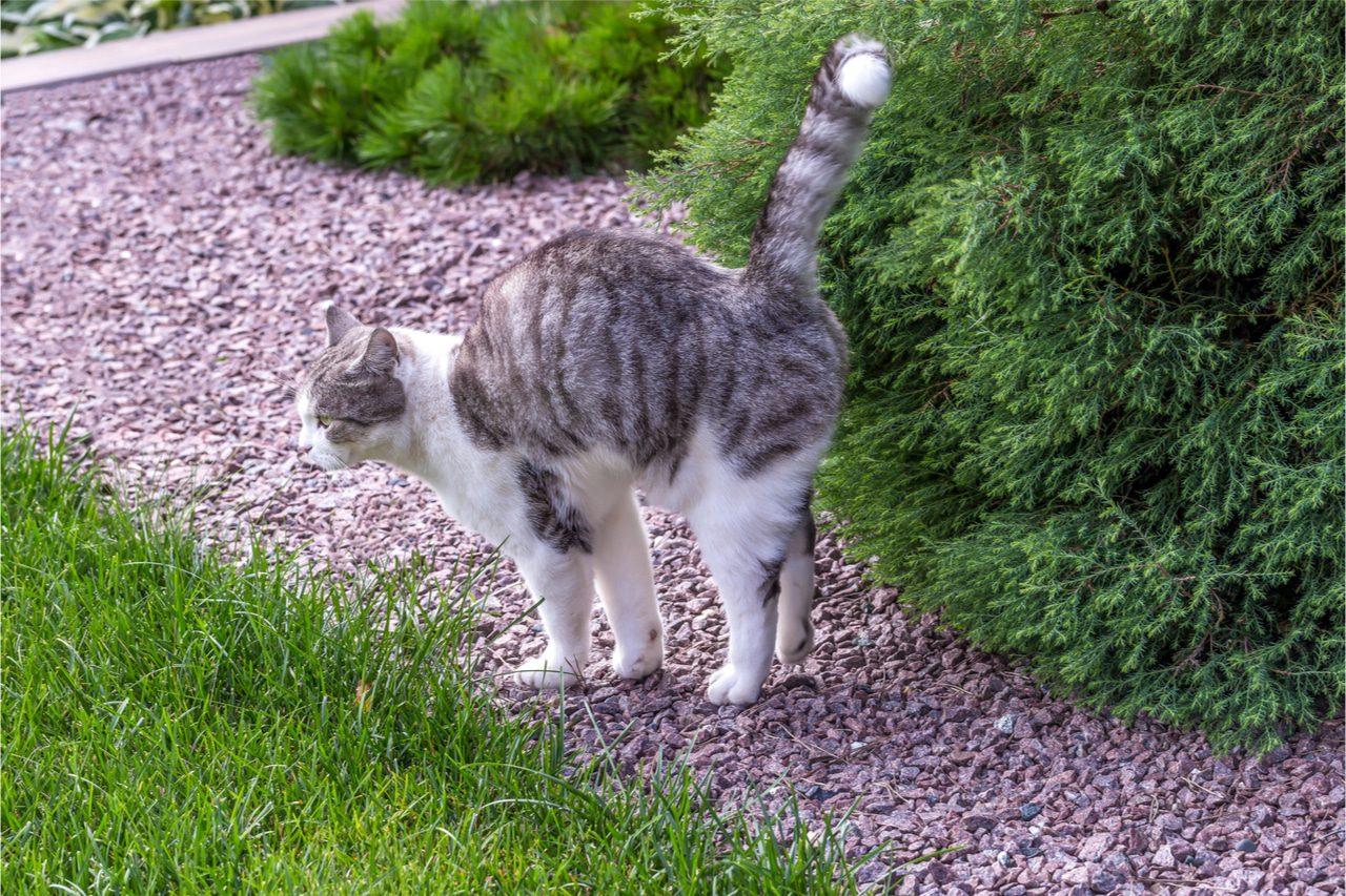 Reviermarkieren Katze