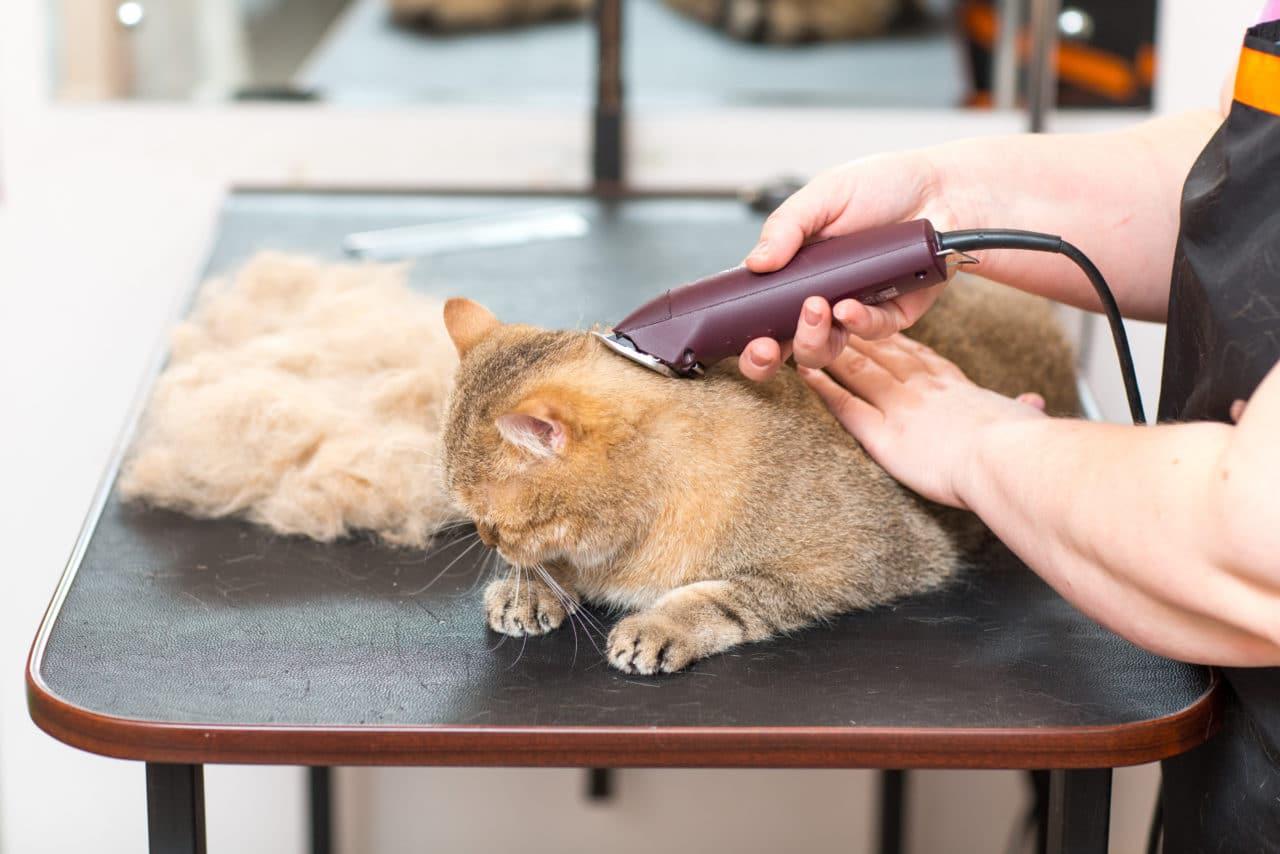 Katze scheren
