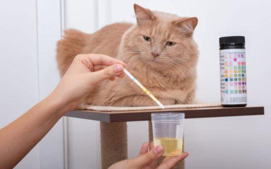 Urinprobe von Katze nehmen