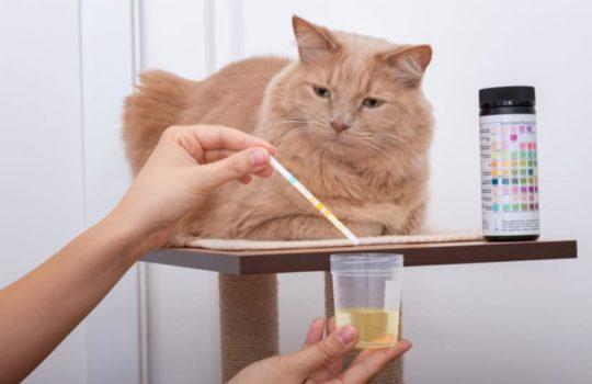 Urinprobe von Katze für den Tierarzt – So geht´s!