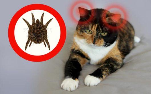 Ohrmilbenbefall bei der Katze - Was tun?