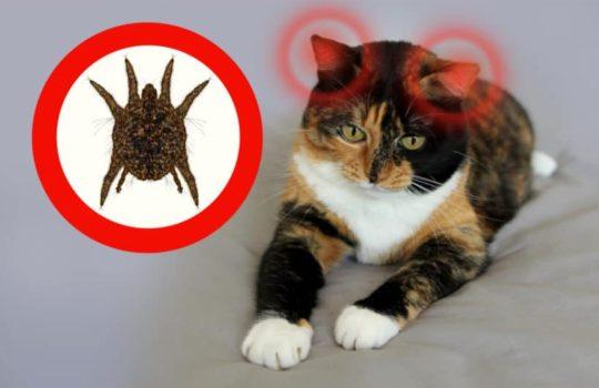 Hilfe meine Katze hat Ohrmilben – was tun?
