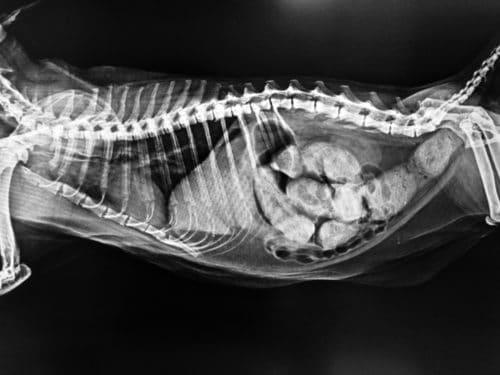 Röntgenbild eines Katzendarms